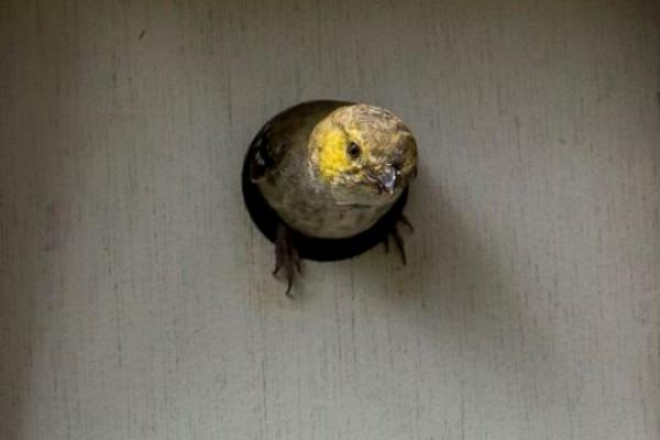 Forty-spotted Pardalote exiting one of the nest-boxes installed at Inala (Photo: Andrew Browne).