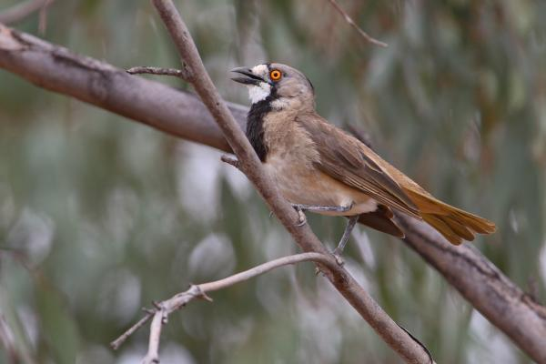 Crested Bellbird by Chris Tzaros