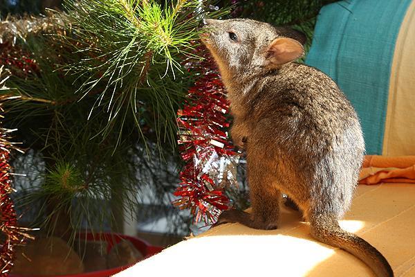 Morinna considering a taste of tinsel, last Christmas