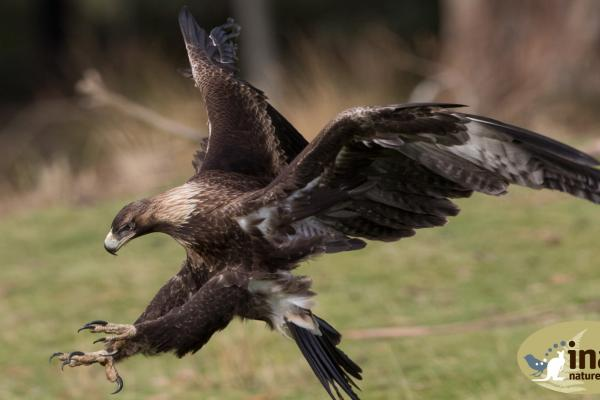 Inala Nature Tours - Wedge Tailed Eagle - Alfred Schulte
