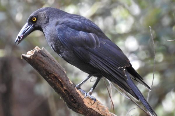Black Currawong at Inala's Conservation Reserve - Photographer Cat Davidson