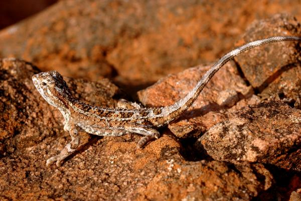 Rock Dragon, Central Australia, Daniela Brozek Cordier