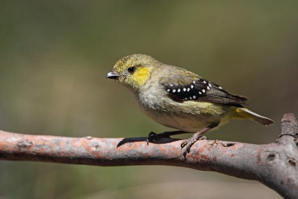 Chris Tzaros - Inala Nature Tours - Forty spotted Pardalote