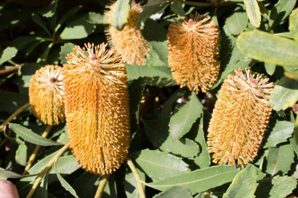 Banksia paludosa - Marsh Banksia - Inala Jurassic Garden