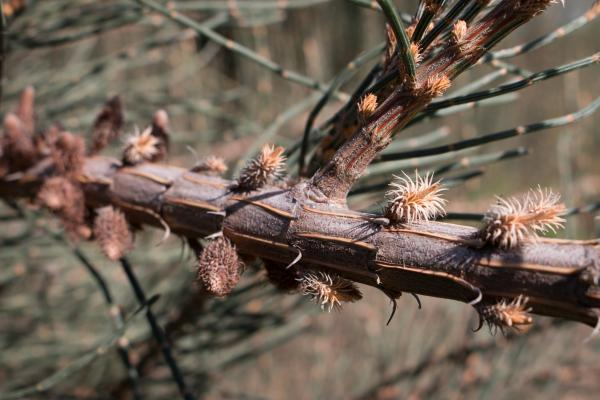 Allocasuarina crassa - Cape Pillar Sheoak - Inala Jurassic Garden