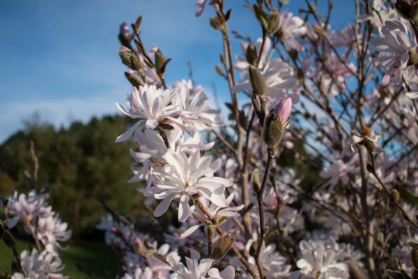 Magnolia stellata rosea - Pink Star Magnolia - Inala Jurassic Garden