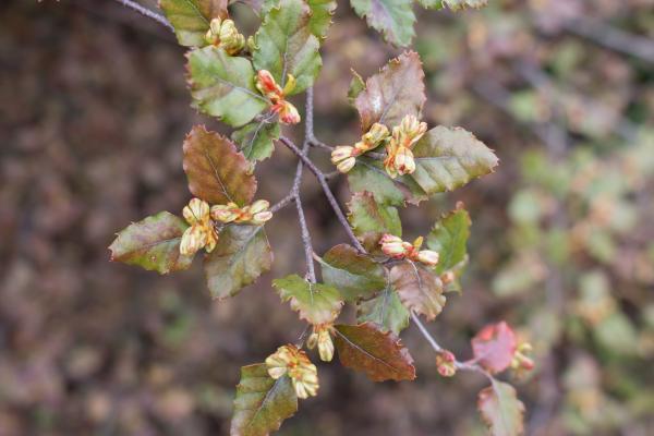 Nothofagus fusca - Red Beech - Inala Jurassic Garden