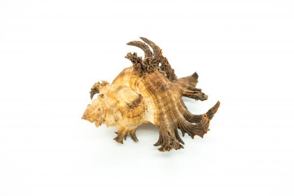 Chicoreus cornucervi - Staghorn Murex - Shells - Inala Nature Museum