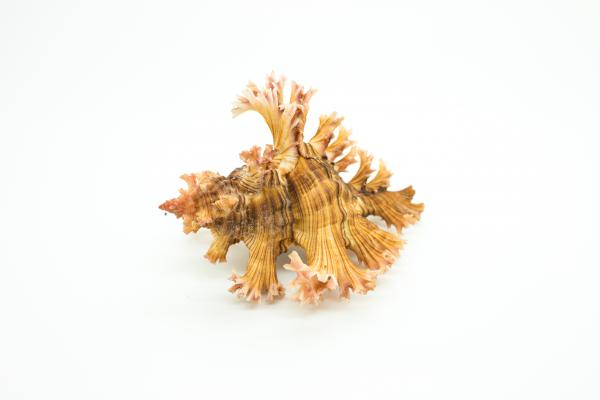 Chicoreus palmarosae - Rose-branch Murex - Shells - Inala Nature Museum