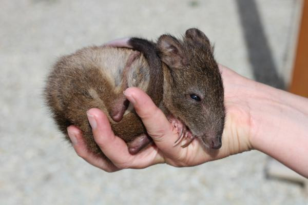 Pinnochio, Baby, Bandicoot, Orphan, Inala - Inala Nature Tours