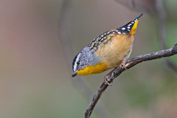 Chris Tzaros - Inala Nature Tours - Spotted Pardalote