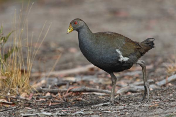 Chris Tzaros - Inala Nature Tours - Native Hen