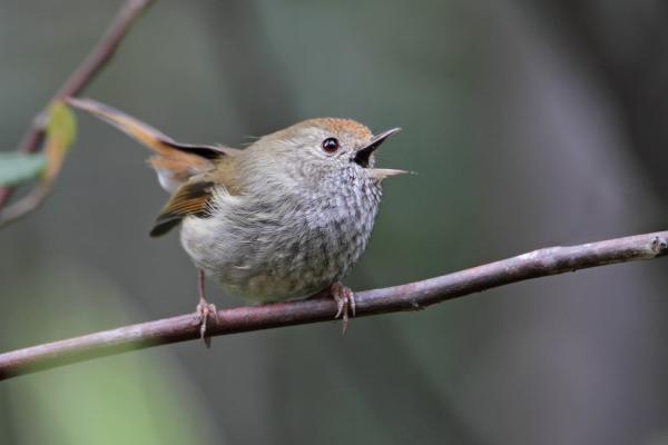 Chris Tzaros - Inala Nature Tours - Tasmanian Thornbill