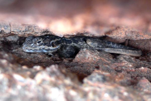 Tawny Rock Dragon, Central Australia, Daniela Brozek Cordier