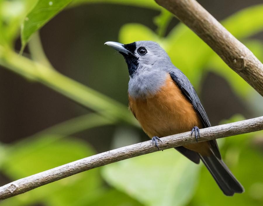 Black Faced Monarch - Inala Nature Tours - Photographer Dennis Braddy