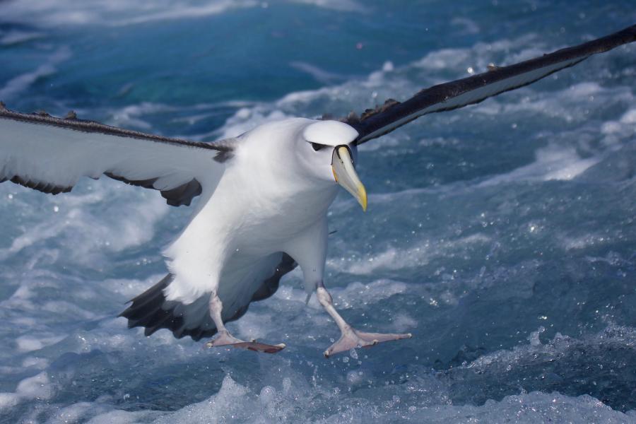 Shy Albatross - Pater Vaughan - Inala Nature Tours - Pelagic
