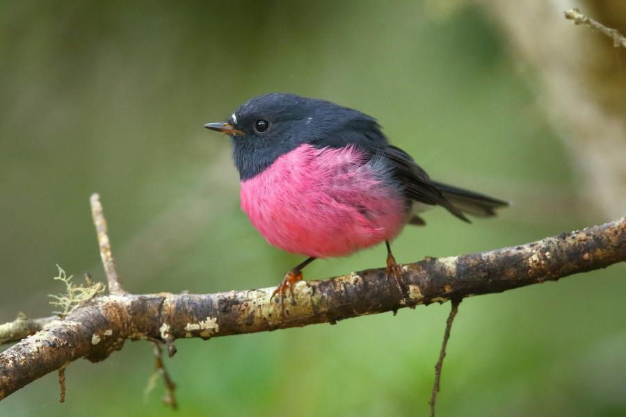 Adam Riley - Pink Robin - Inala Nature Tours