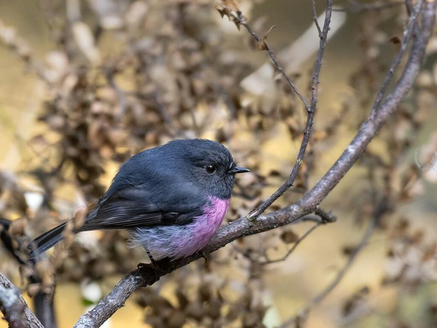 Pink Robin - Inala Nature tours - Ken and Mary Campbell