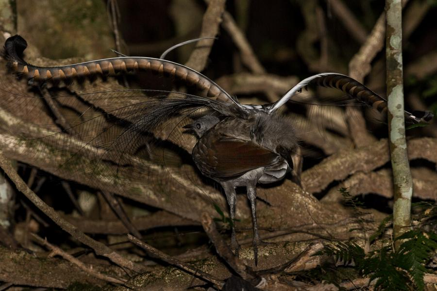 Superb Lyrebird - Alfred Schulte - Inala Nature Tours