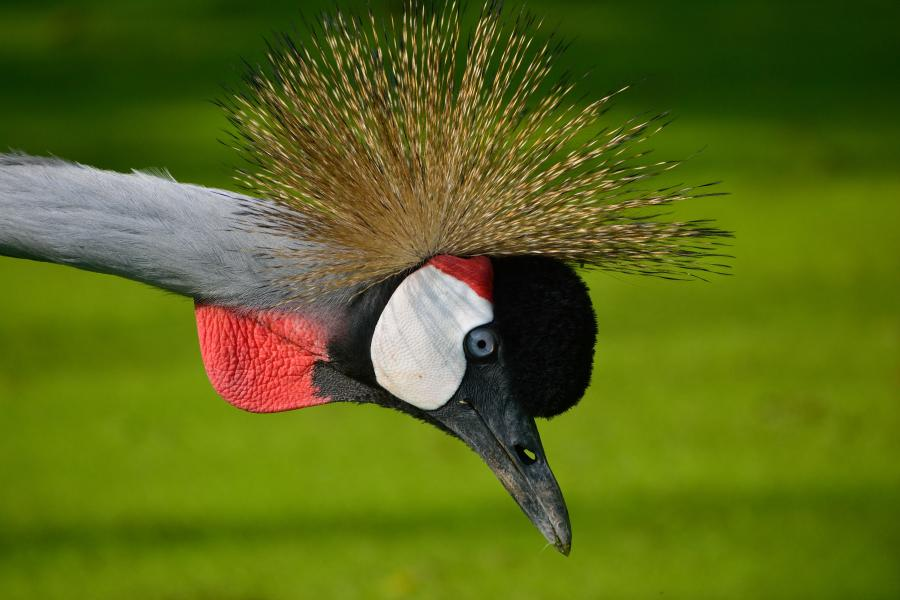Grey Crowned Crane - W Wachira - Inala Nature Tours