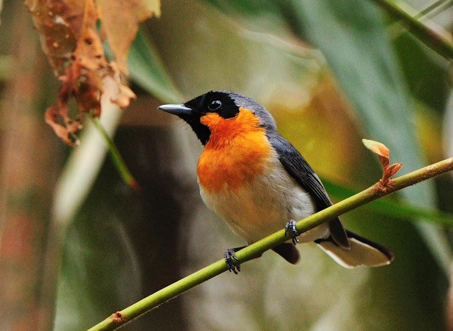 Spectacled Monarch - Photograph by Pat Kelly - Inala Nature Tours