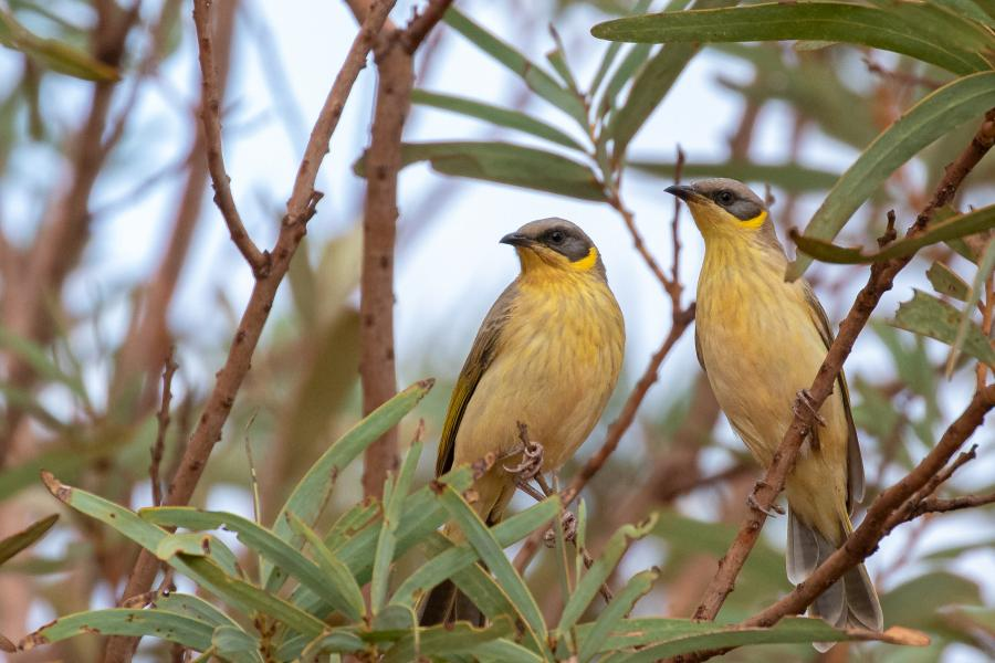 Grey-headed Honeyeaters - Alfred Schulte - Inala Nature Tours