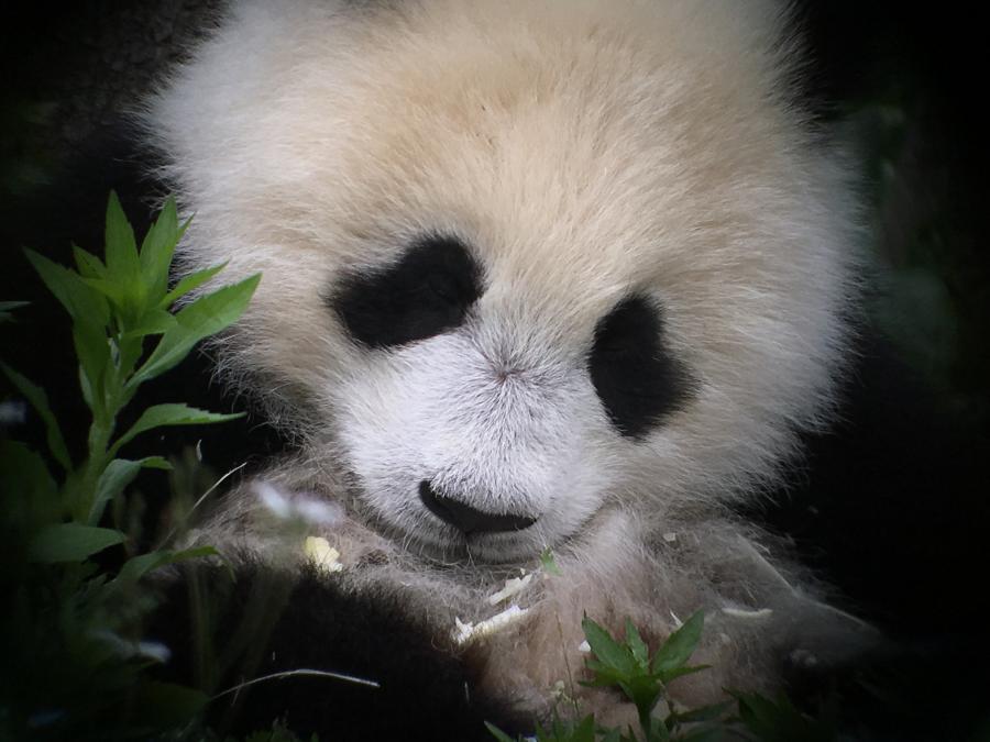 Giant Panda in Rehab Centre - Tonia Cochran - Inala Nature Tours