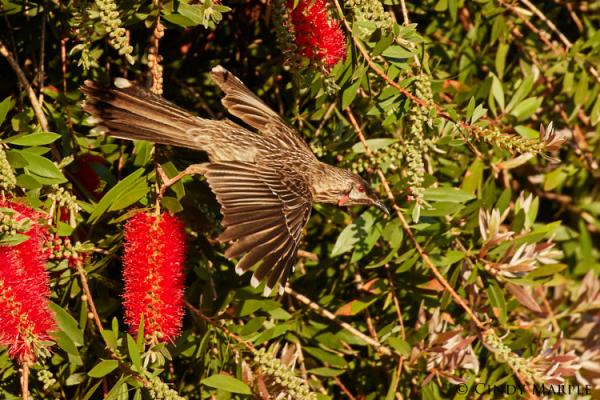 Red Wattlebird- Inala Nature Tours - Photographer Cindy Marple