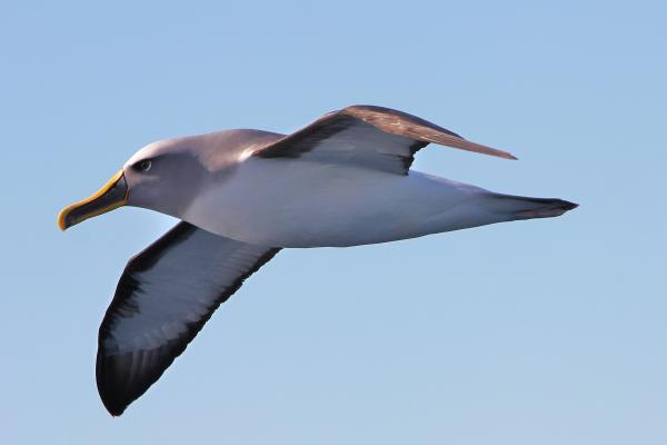 Bernie O Keefe - Bullers Albatross - Inala Nature Tours - Pelagic