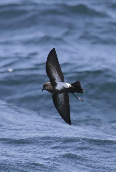 Black-bellied Storm Petrel - Paul Brooks - Inala Nature Tours