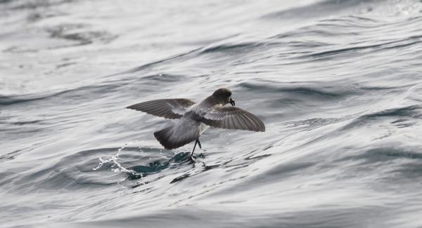 Grey-backed Storm Petrel - Paul Brooks - Inala Nature Tours
