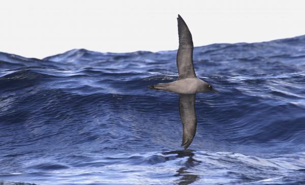 Light-mantled Albatross - Paul Brooks - Inala Nature Tours
