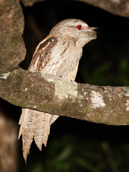 Papuan Frogmouth - Bob Lewis - Inala Nature Tours