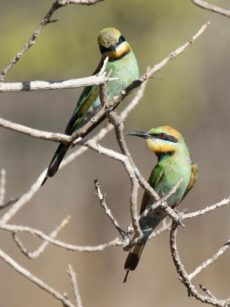 Rainbow BeeEater - Bob Lewis - Inala Nature Tours