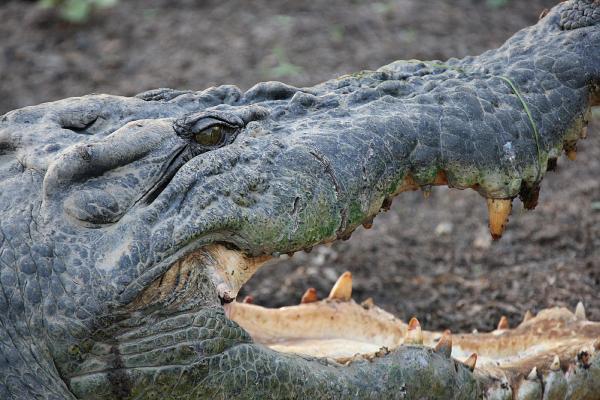 Estuarine Crocodile - Bob Lewis - Inala Nature Tours