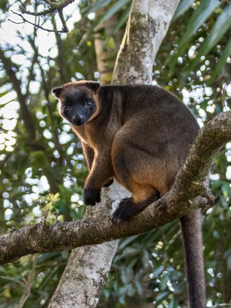 Lumholtz Tree Kangaroo - Alfred Schulte - Inala Nature Tours