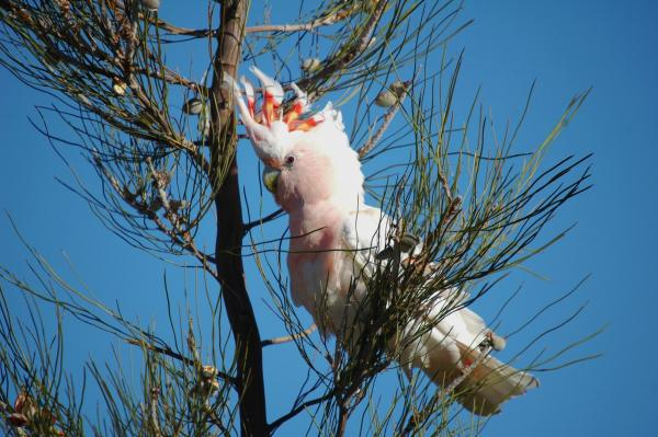Major Mitchells Cockatoo - Pat Kelly - Inala Nature Tours