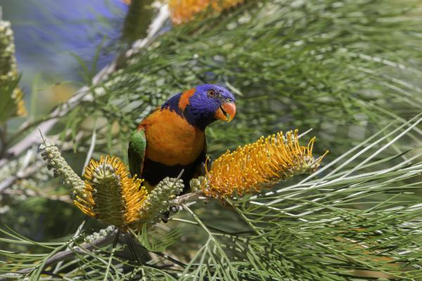 Red-collared Lorikeet - Andrew Browne - Inala Nature Tours