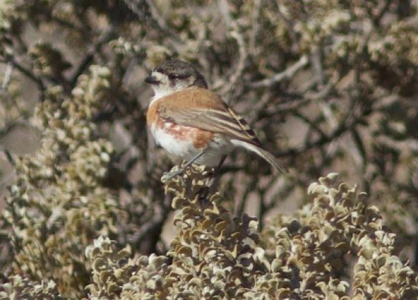 Chestnut-breasted Whiteface - Alastair Stevenson - Inala Nature Tours