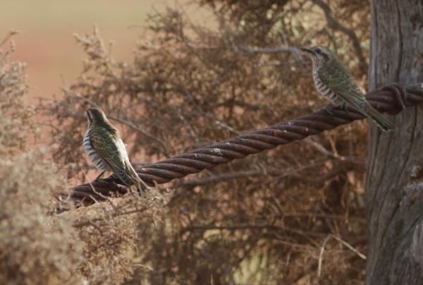 Horsefields Bronze Cuckoo  - Alastair Stevenson - Inala Nature Tours