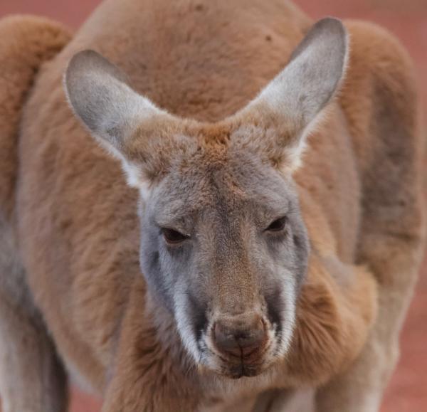 Red Kangaroo - Alastair Stevenson - Inala Nature Tours