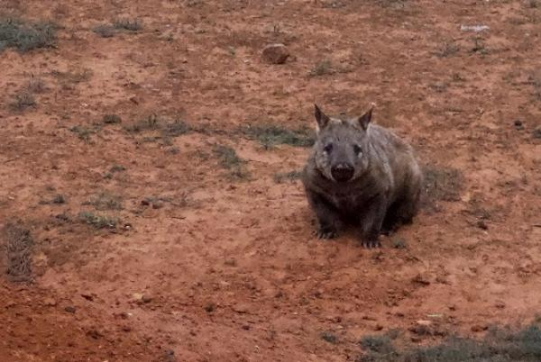 Southern Hairy-nosed Wombat - Alastair Stevenson - Inala Nature Tours