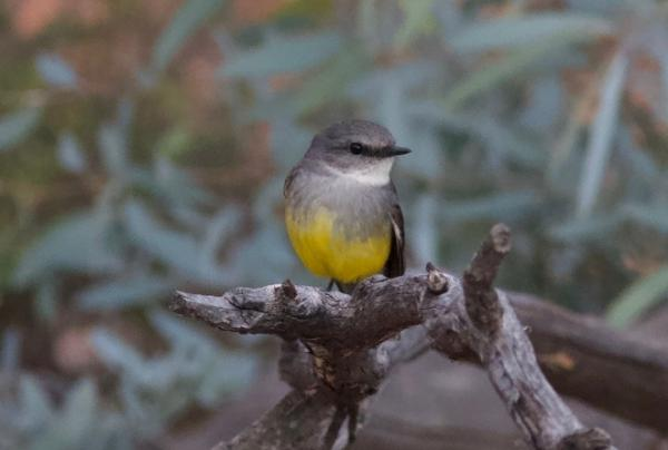 Western Yellow Robin - Alastair Stevenson - Inala Nature Tours