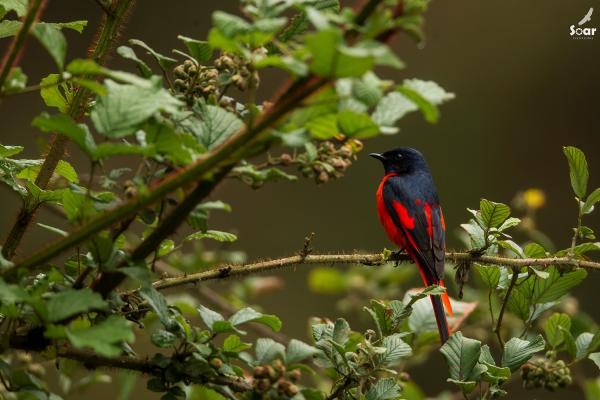 Bhutan - Scarlet Minivet - Soar  - Inala Nature Tours