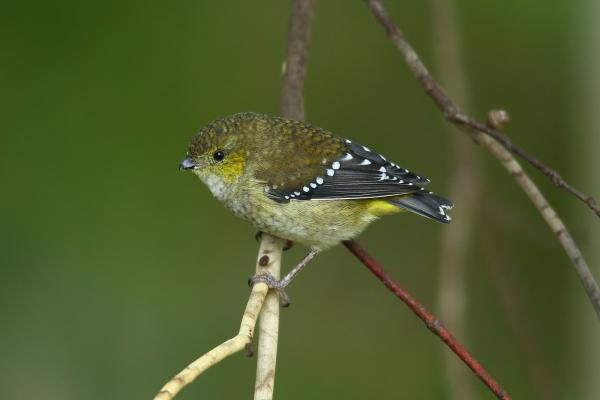 Adam Riley - Forty-spotted Pardalote - Inala Nature Tours