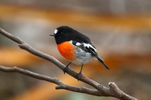 Adam Riley - Scarlet Robin - Inala Nature Tours