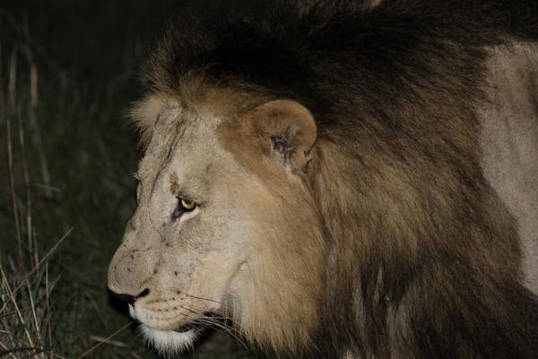 Lion seen on a night drive by Richard White