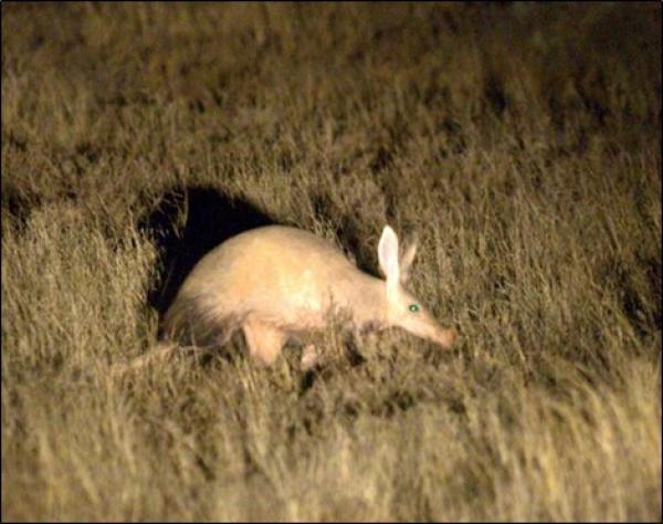 Aardvark by Rich Lindie
