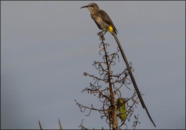 Cape Sugarbird by Greg de Klerk