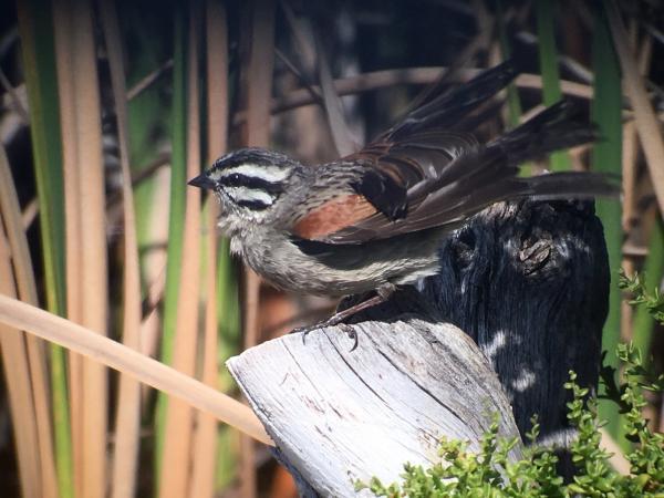 Cape Bunting - Tonia Cochran - Inala Nature Tours